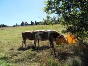 Neue Züchtung sechsbeinige Kuh gesehen bei Sensweiler